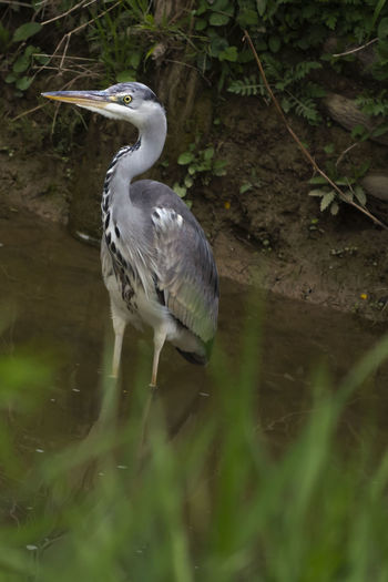 Heron Beak Gray