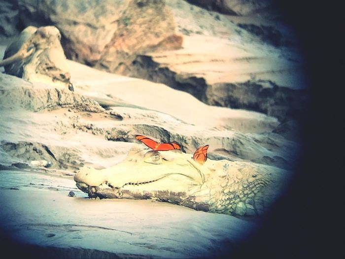 Alligator Butterfly Wildlife Nature Amazone Snow Mountain Bird Cold Temperature Sunset Winter Multi Colored Landscape EyeEmNewHere