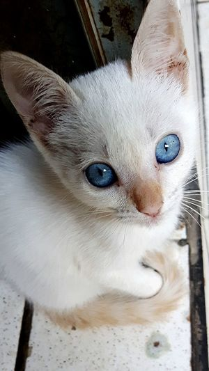 Gato Azul Cat Eyesblue Cat Lovers Cat♡ Branco White Color White UaU Beautiful AndreLima Animals Animal Garfield Gatos Cats Gata Gatas Pet