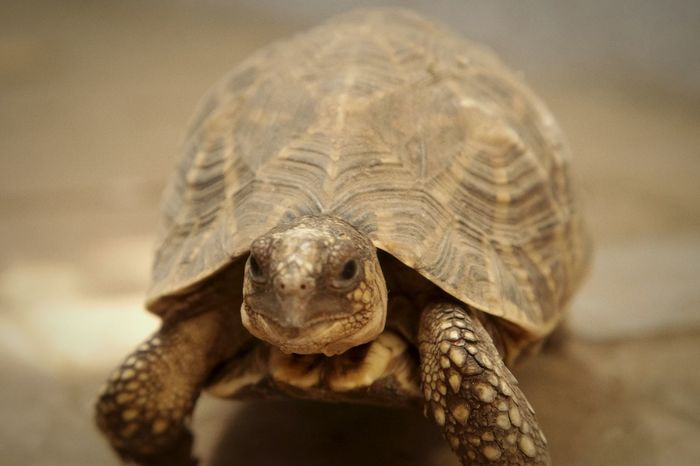 Animal Animal Wildlife One Animal Animals In The Wild Tortoise Nature Outdoors No People Day Portrait Tortoise Shell Reptile Animal Themes Close-up TCPM Sonya58
