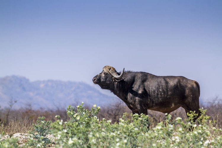 African buffalo standing against clear sky at national park