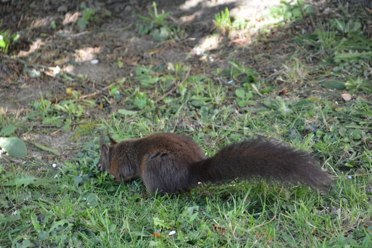 Squirrel Eichhörnchen Animals In The Wild Animal Wildlife Mammal One Animal Nature Plant Land No People Vertebrate Grass Day Outdoors Field Forest High Angle View