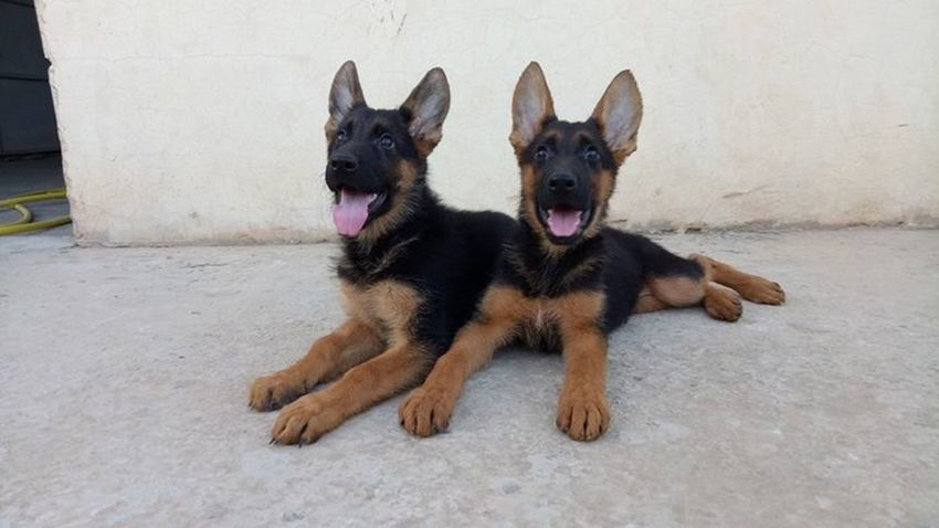 Animal Animal Themes Black Color Dog Domestic Animals German Shepherd Lying Down No People