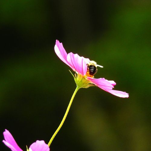 bee on pink cosmos Bee Nature Nature_collection Nature Photography Green Color Floral Photography Flower Flower Pink Color Insect Close-up Green Color Blooming Flower Head Pink Petal Stem Single Flower Cosmos Flower Animal Wing Perching In Bloom