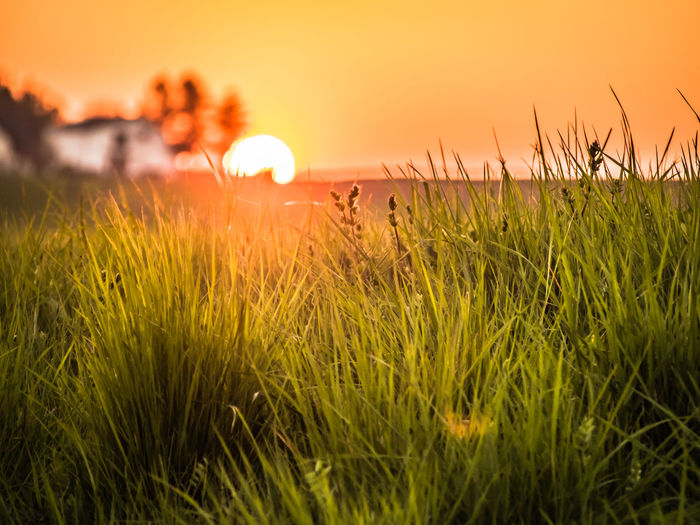 Sunset in the fields Growth Sunset Sky Plant Beauty In Nature Land Field Tranquility Tranquil Scene Scenics - Nature Sun Nature Grass No People Orange Color Agriculture Green Color Crop  Landscape Rural Scene Outdoors Stalk Meadow Grasses Horizon Over Water