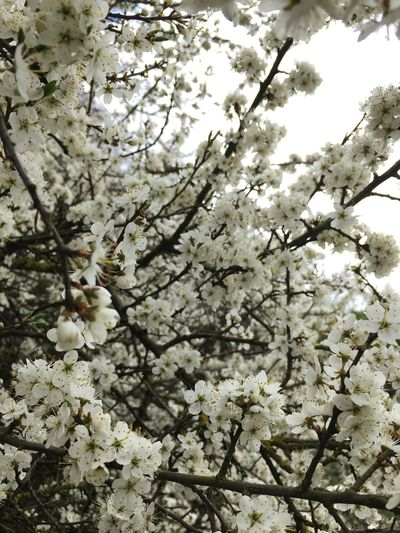 Looks like Japan Blossom Beautiful LOL Grow Spring Nature Smell Fresh White No Filter NaturalTree Growth Blossom White Color Beauty In Nature Springtime Flower Fragility Branch No People Close-up Twig Outdoors Apple Tree Freshness Low Angle View Day Backgrounds