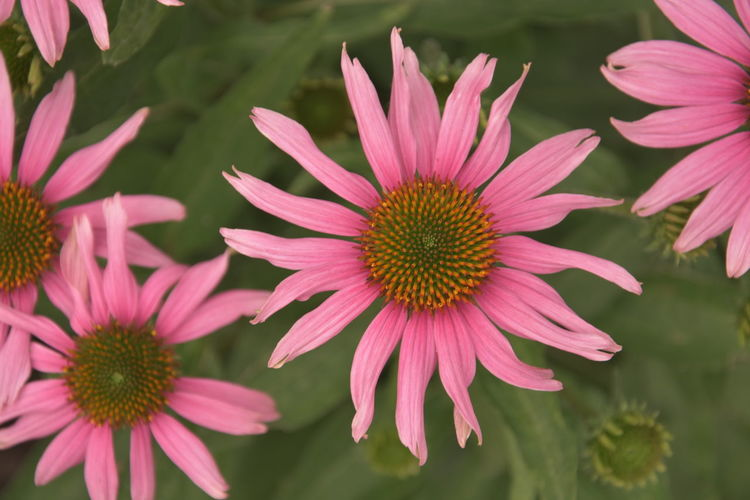 Beautiful pink flowers Beauty In Nature Close-up Coneflower Day Flower Flower Head Flowering Plant Focus On Foreground Fragility Freshness Gazania Growth Inflorescence Nature No People Outdoors Petal Pink Color Plant Pollen Vulnerability