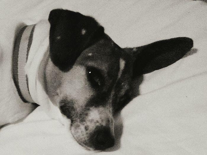 Nala: coolest dog in Madrid Blackandwhite Dogs Cute Pets Sleepy