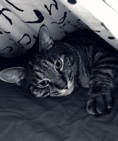 Animal Animal Themes Vertebrate One Animal Pets No People Mammal Domestic Animals Cat