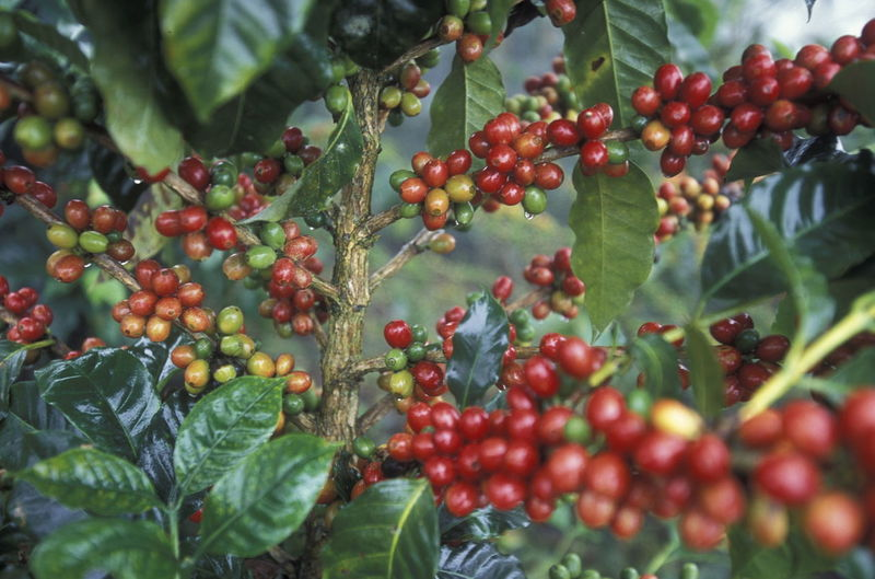 Close-up of berries growing on plant at field