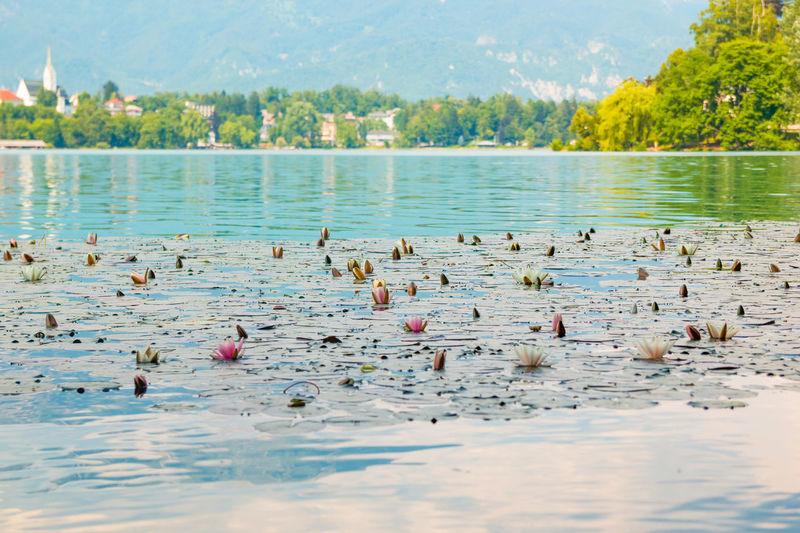 Water Lilies In Lake Against Sky