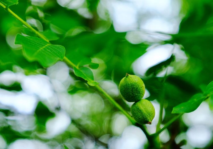 Green walnut... Tree Walnut Green Color Growth Leaf Plant Plant Part Freshness Fruit Tree Close-up Beauty In Nature No People Focus On Foreground Outdoors