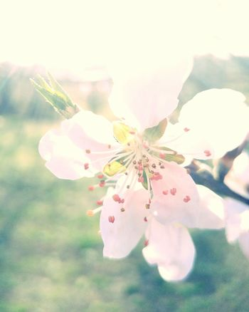 Easter Ready Pear Blossom New Life Flower Bloom Floral Nature Photography Overexposed Natural Garden Garden Photography Plant Garden Fresh Nature Spring Outdoors Springtime Pink Pink Flower Fwjphotos Beautiful Nature Spring Flowers Tree Lgg4photography LGG4