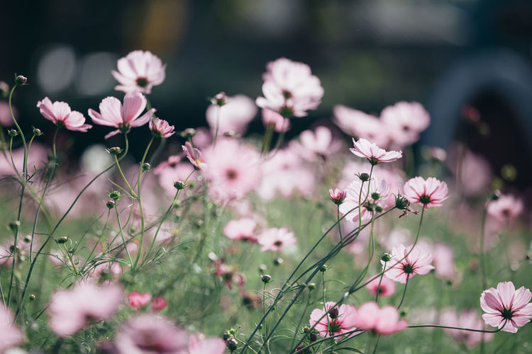 Cosmos Flower Cosmos Cosmos Field Wallpaper Wallpaper Background Backgrounds Background Flower Flowering Plant Plant Fragility Vulnerability  Growth Freshness Pink Color Beauty In Nature Selective Focus Petal Nature Close-up Day No People Inflorescence Flower Head Outdoors Land Field Springtime Spring