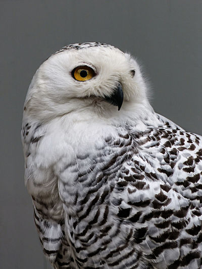 Alertness Animal Animal Head  Animal Themes Animals In The Wild Beak Bird Birds Close-up Comfortable Curiosity Day Eule Focus On Foreground No People One Animal Owl Perching Relaxing Schneeeule Side View Wildlife Zoology Pet Portraits