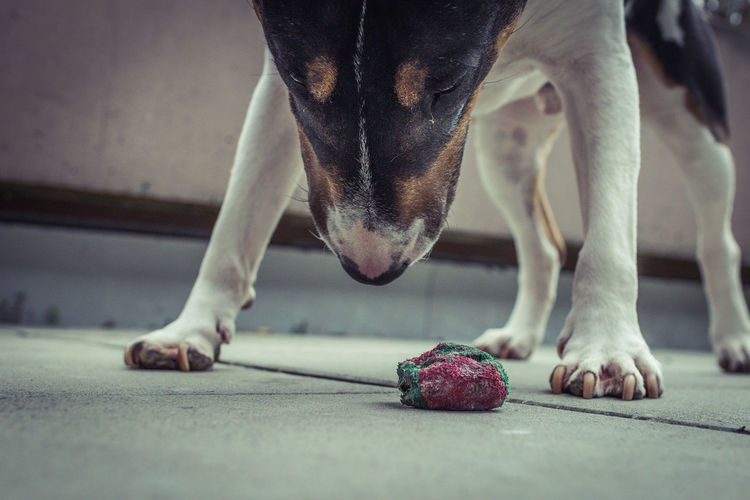 Close-Up Of Bull Terrier Looking At Stone On Walkway