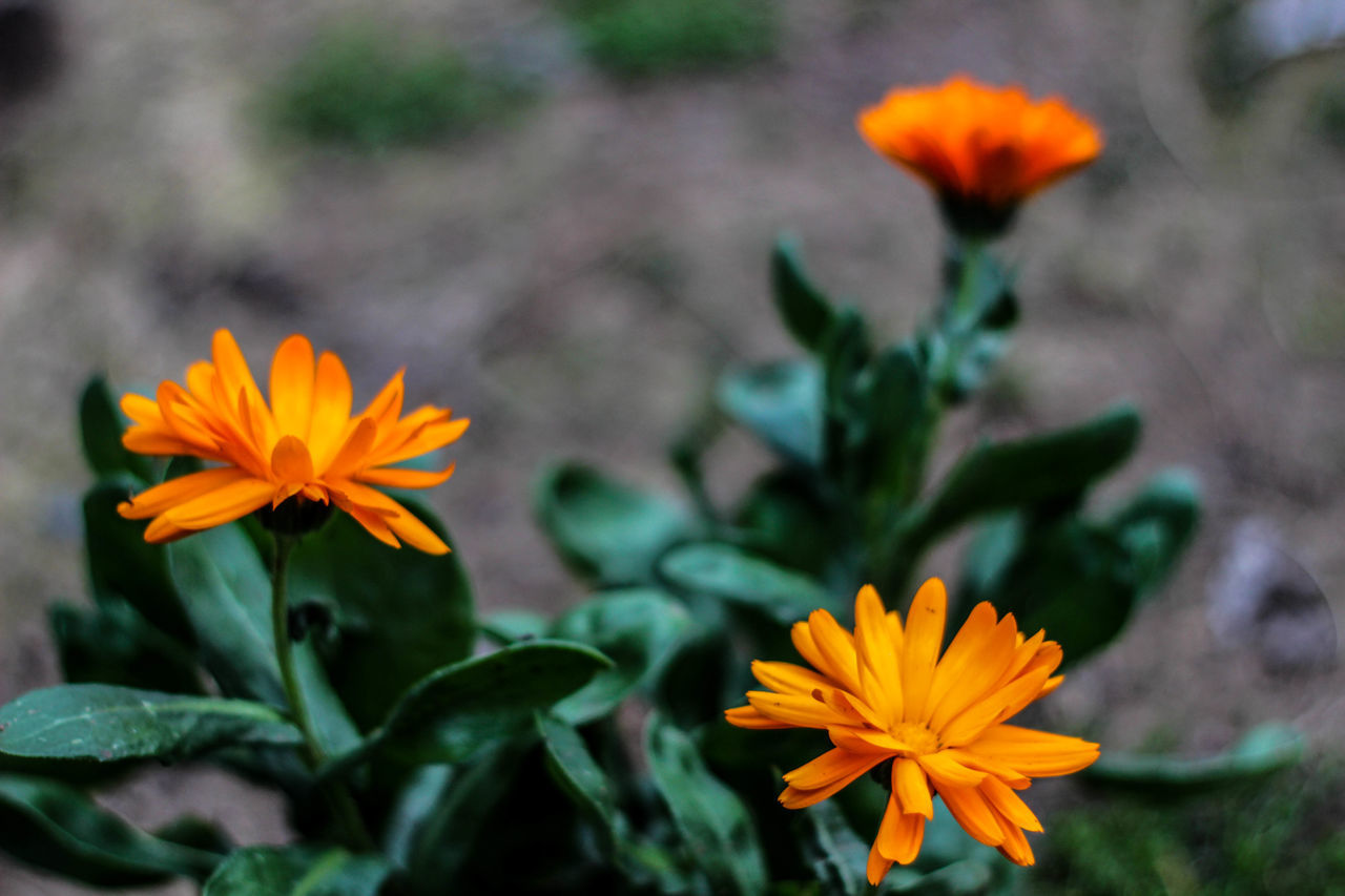 flower, petal, flower head, beauty in nature, fragility, orange color, plant, nature, blooming, freshness, growth, no people, leaf, yellow, outdoors, green color, close-up, day, marigold, zinnia