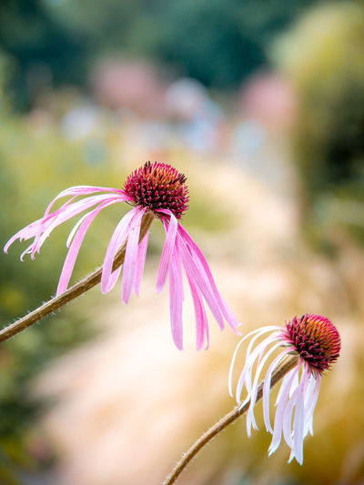 Nature Taking Photos Beauty In Nature Close-up Coneflower Day Flower Flower Head Flowering Plant Focus On Foreground Fragility Freshness Growth Inflorescence Nature No People Outdoor Photography Outdoors Petal Pink Color Plant Pollen Selective Focus Sepal Vulnerability