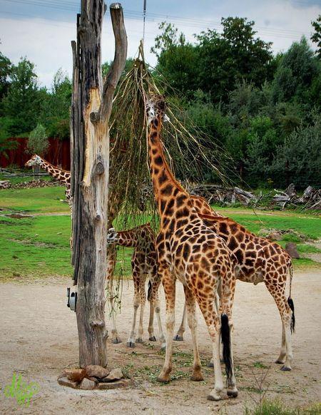 Nature_collection Landscape_collection EyeEmNatureLover Zoo Animals  Tierpark Giraffe♥ Nature Photography Eyeemphotography EyeEm Best Shots - Nature