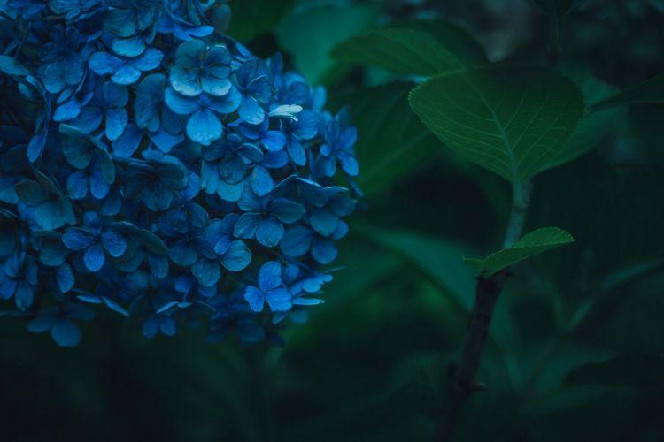 Close-up of blue hydrangea