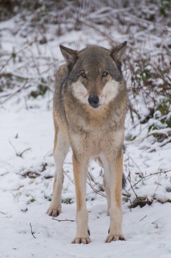 Animal Themes Animal Wildlife Animals In The Wild Cold Temperature Day Field Forest Lone Wolf Mammal Nature No People One Animal Outdoors Portrait Snow Weather Winter Wolf