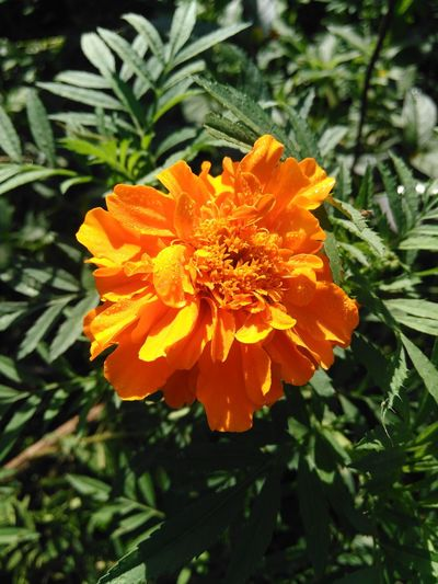 Flower Orange Color Nature Beauty In Nature Petal Fragility Flower Head Growth Plant Pollen Freshness Marigold Close-up Blooming No People Outdoors Day