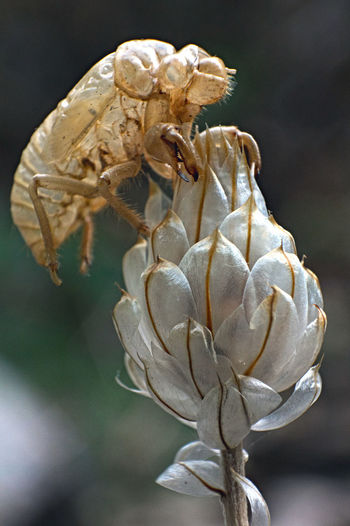 moulting of cicada Cigales Animals In The Wild Beauty In Nature Close-up Flower Flower Head Flowering Plant Focus On Foreground Insect Invertebrate Moulting Of Cicada No People One Animal