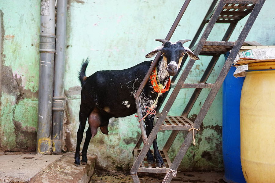 Goat Looking At Camera Mumbai Day Iron Stairs One Animal Outside Tied Up, Pet Portraits