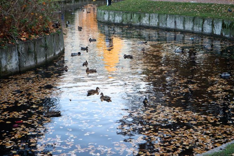 Water Animal Themes Animal Animal Wildlife Animals In The Wild Reflection Vertebrate Bird Swimming Group Of Animals Lake High Angle View Nature No People Day Duck Poultry Outdoors