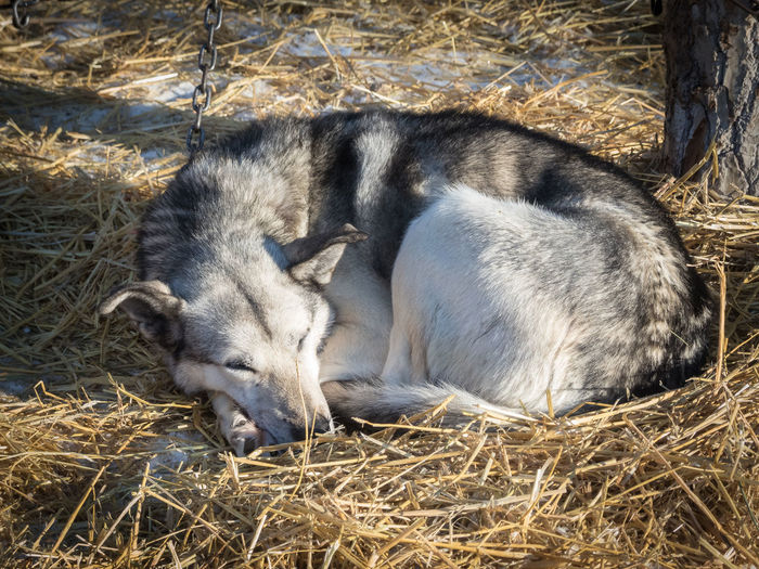 Wilderness Area Animal Themes Break Canada Close-up Day Dog Fur Hay Husky Lying Down Nature No People Outdoors Relaxing Time Resting Sled Dog Sunshine Warmth Wilderness Wilderness Adventure Wildernessculture Yukon Territory