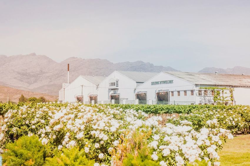 Winery Mountain Flower Built Structure Beauty In Nature Nature Architecture Plant No People Mountain Range Tranquil Scene Outdoors Day Sky Scenics Building Exterior Freshness Wine Farm CheninBlanc Rawsonville Nikon Nikonphotography Breedekloof
