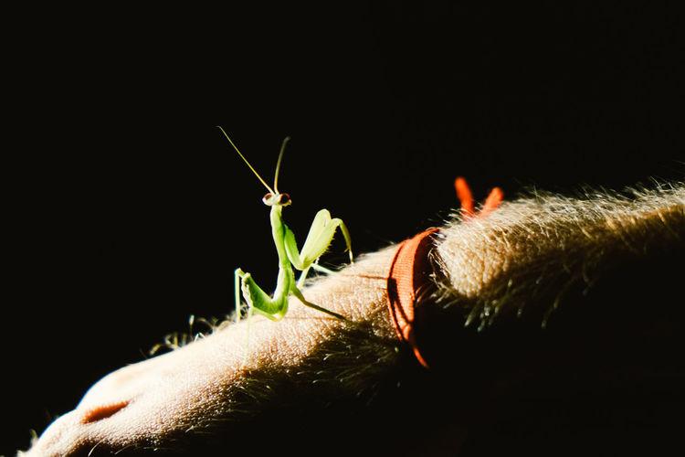 Cropped hand of man with praying mantis at night
