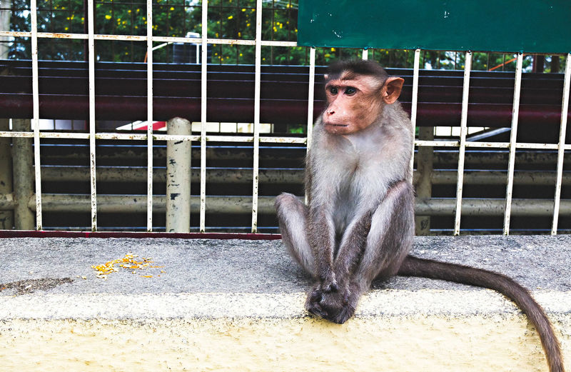 Animal Themes Cage Day Dog Domestic Animals Mammal Monkey No People One Animal Outdoors Pets Portrait Sitting