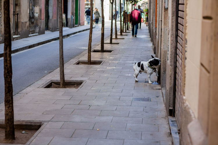 Lifestyles Women Walking Men Dog Outdoors Real People Day Domestic Animals Pets Leisure Activity Mammal The Way Forward Adults Only One Person People SPAIN Snapshots Of Life Pug Frenchie French Bulldog Portrait Of A City Dogs Of Barcelona Perros De Barcelona Barcelona Pet Portraits