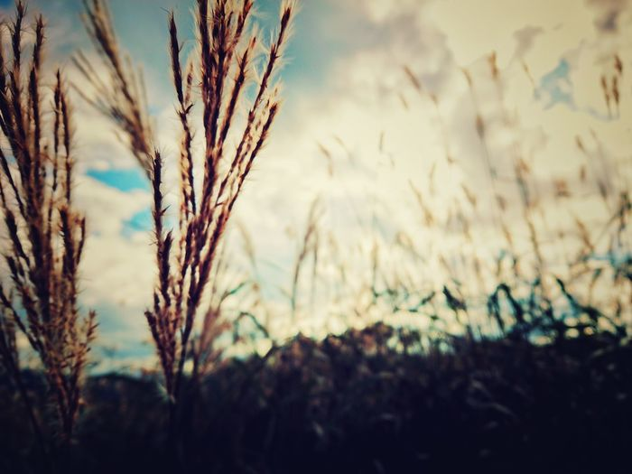 🌾ざわわ~ Nature Rural Scene Agriculture Field Landscape Scenics Beauty In Nature Chica's Sky Sky Black_chica1709 Landscape_photography EyeEmNewHere Autumn Colors The Week On EyeEm Autumn Close-up Skyscape Naturelandscape
