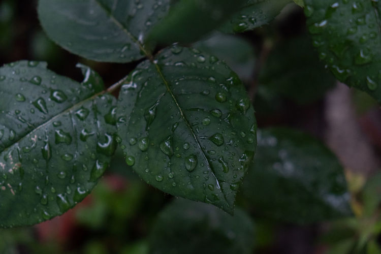Beauty In Nature Close-up Day Dew Drop Focus On Foreground Freshness Green Color Growth Leaf Leaves Nature No People Outdoors Plant Plant Part Purity Rain RainDrop Rainy Season Water Wet
