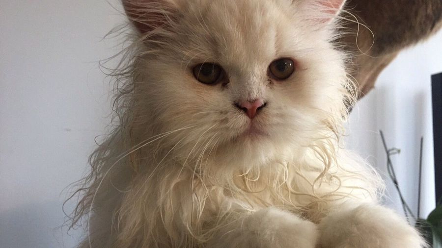 Chat alors ! Pets Domestic Animals Domestic Cat Feline Animal Themes One Animal Whisker Persian Cat  No People Portrait Day Portrait Photography Nature_collection Holiday Cat Hairy  Cute Tranquil Scene IPhoneography 😸