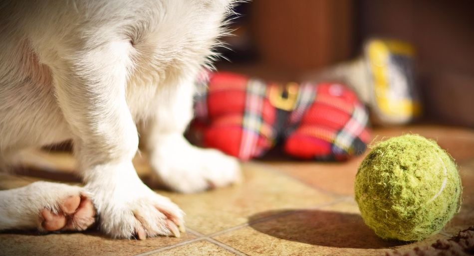 Close-up of dog by ball at home