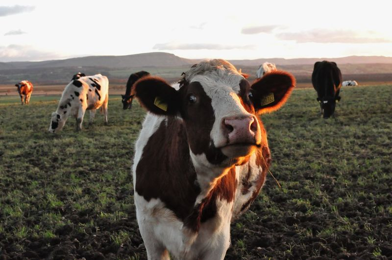 Close-Up Of Cows Standing On Field Against Sky