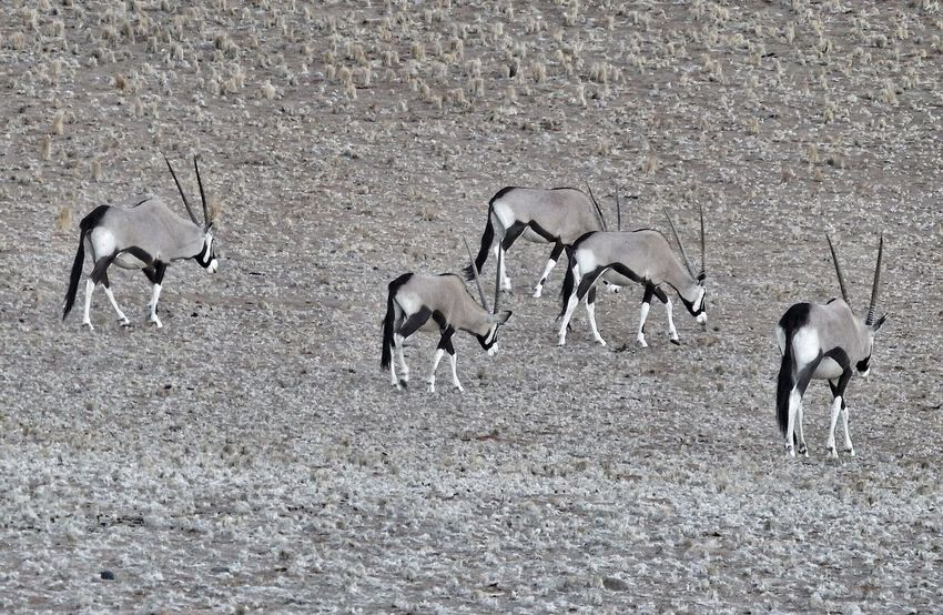 Oryx Oryx Gazella Antilopen Namibia Animals In The Wild Animals Animals Nature Animals Collection Nature's Diversities