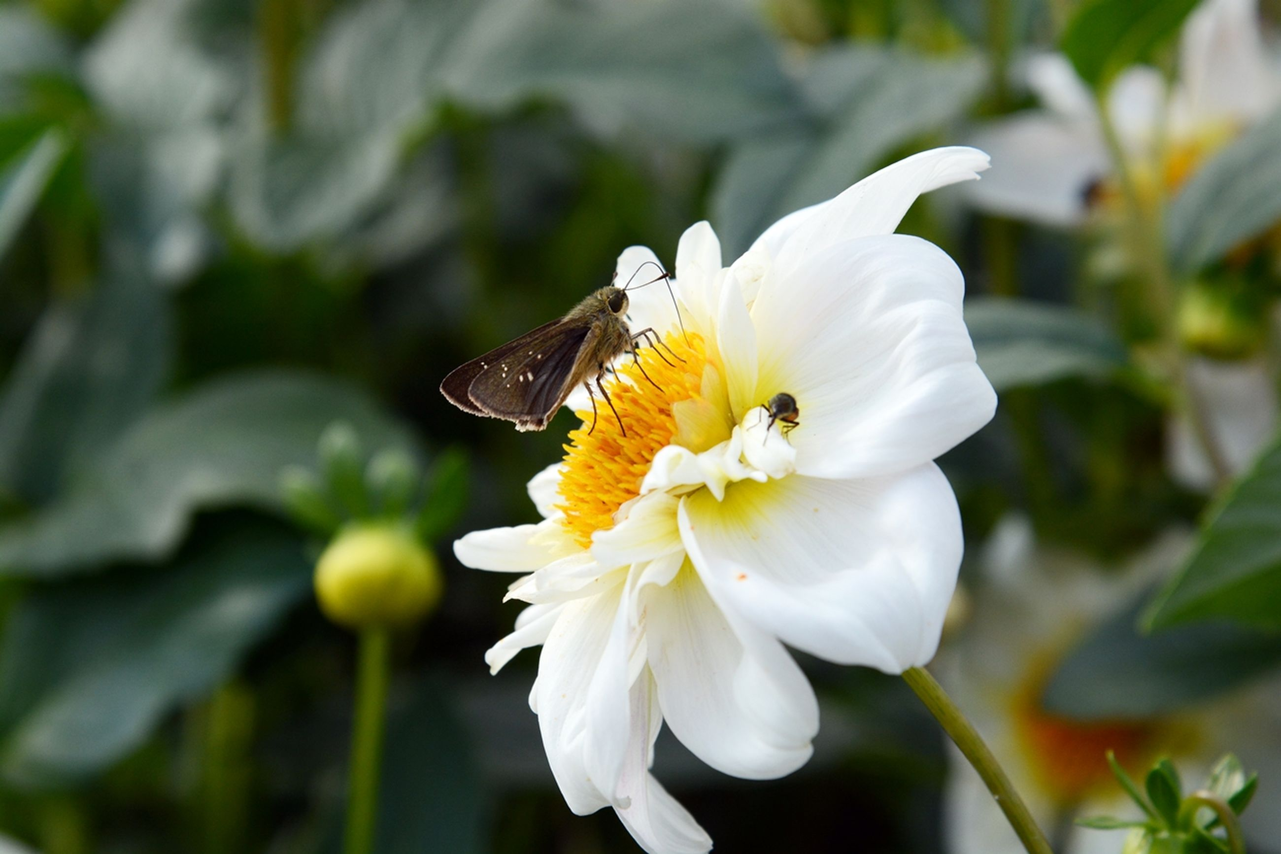 flower, petal, one animal, animal themes, flower head, white color, animals in the wild, freshness, insect, focus on foreground, wildlife, fragility, close-up, beauty in nature, yellow, growth, nature, pollen, blooming, bee