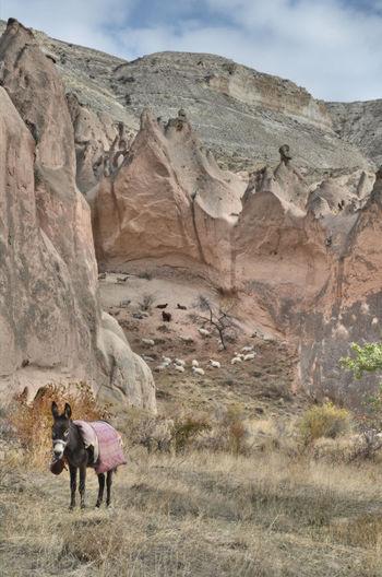 Donkey and sheep in the mountains of kapadokya