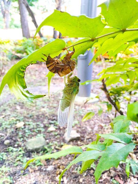 1日目の蝉。 蝉 Cicada Summer Summer Views Birth Hello World Enjoying Life EyeEm Best Shots EyeEm Nature Lover Street Photography From My Point Of View Streetphotography Showcase August