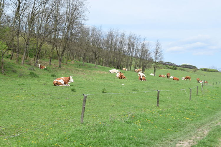 Cows resting on field against sky