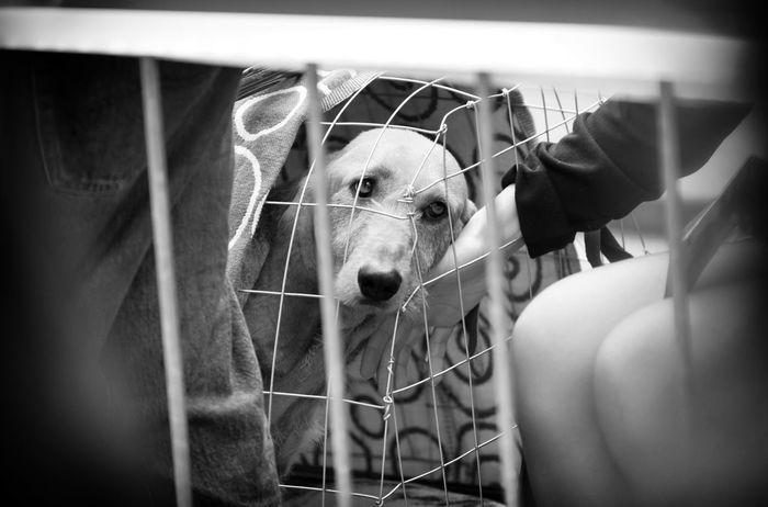 Stray dog behind the corral of a dog refuge and a girl petting it through the net. Black and white photography Animal Themes Black And White Black And White Friday Blackandwhite Photography Cage Close-up Corrado Corral Day Dog Domestic Animals Human Hand Indoors  Mammal One Animal One Person People Pets Petting Petting Animals Refuge Weimaraner