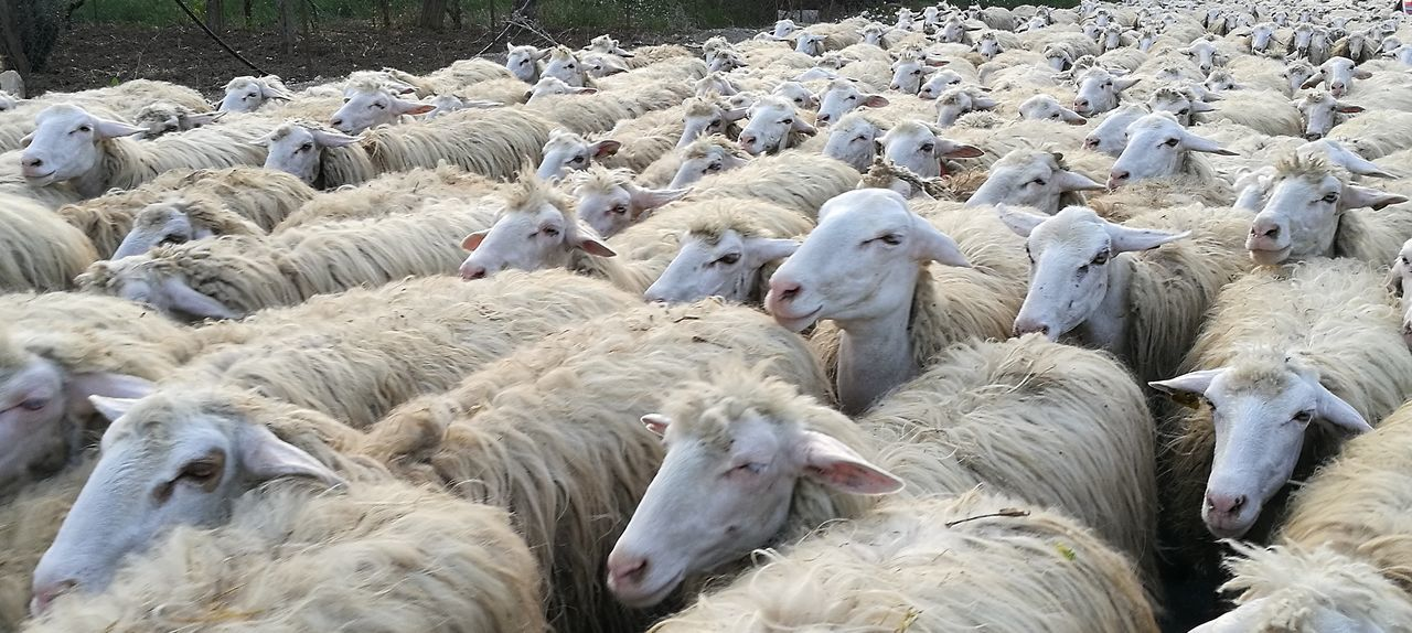 group of animals, animal, animal themes, large group of animals, vertebrate, flock of sheep, sheep, livestock, mammal, domestic animals, pets, domestic, day, no people, animal wildlife, nature, animals in the wild, agriculture, high angle view, outdoors, herbivorous, herd, flock of birds