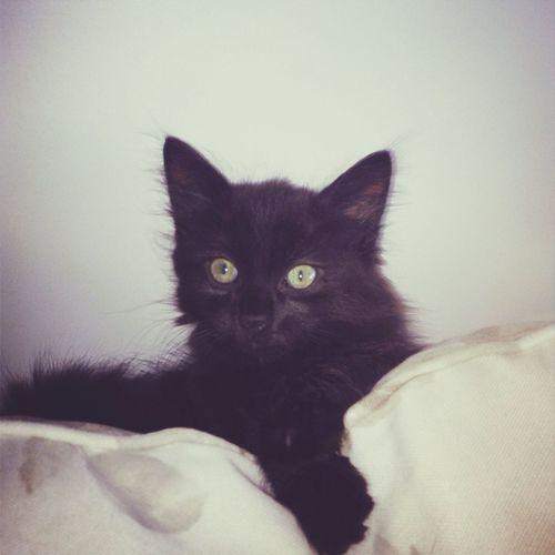 Cat Black Cat Kaya Green Eyes