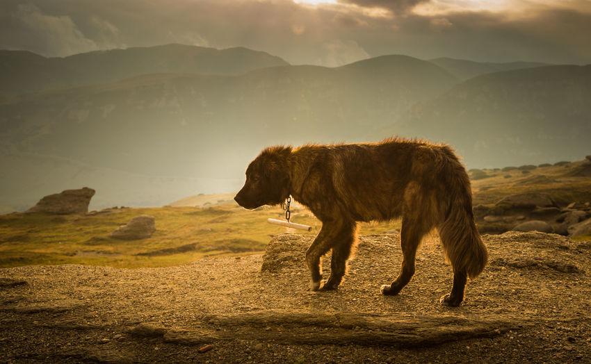 Portrait of a shepherd dog in a Carpathian landscape Carpathians Romania Animal Animal Themes Day Dog Domestic Animals Landscape Mammal Mountains Nature No People Outdoors Pet Sky Summer