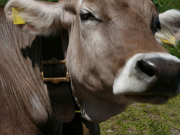 cow heat Animal Animal Body Part Animal Head  Animal Nose Animal Themes Animal Wildlife Cattle Close-up Cow Cow Pasture Domestic Domestic Animals Domestic Cattle Herbivorous Livestock Mammal No People One Animal Outdoors Pets Snout Vertebrate