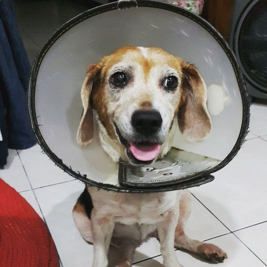 帶了一個禮拜的喇叭咪。眼睛終於好多了 Mymilinbaby Beagle
